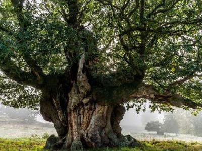 Ancient Sessile Oak, Cowdray Park, West Sussex,