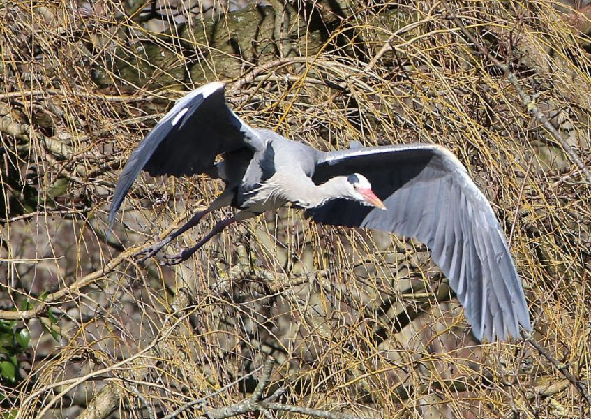 Heron on the wing in Hampden Park, by Norman Brown. Taken on a Canon 6D camera.