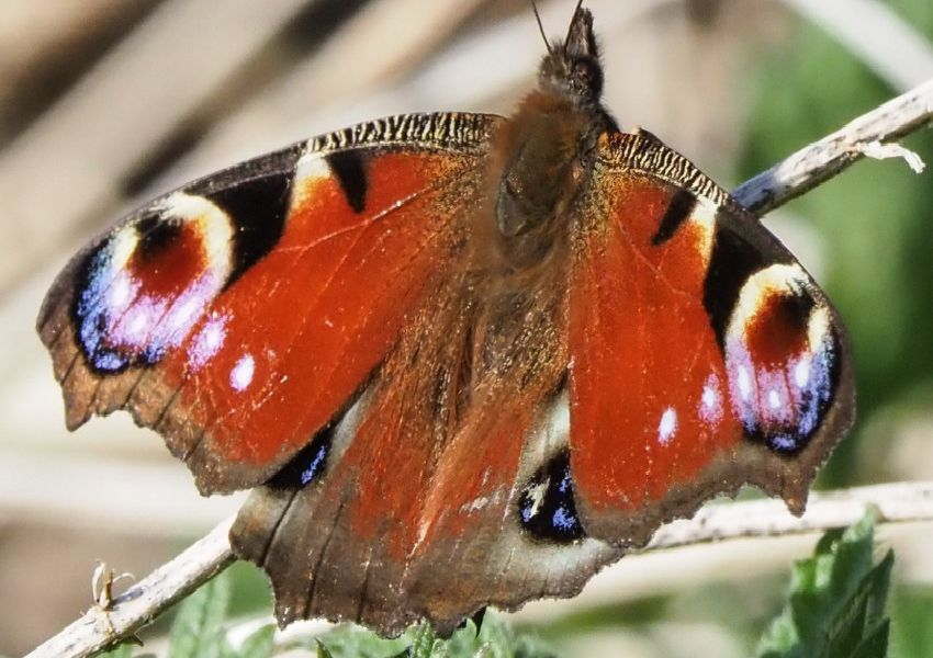 A beautiful peacock butterfly photographed by Derek A Briggs at West Langney Marsh using an Olympus mirrorless camera. SUS-190327-160708001