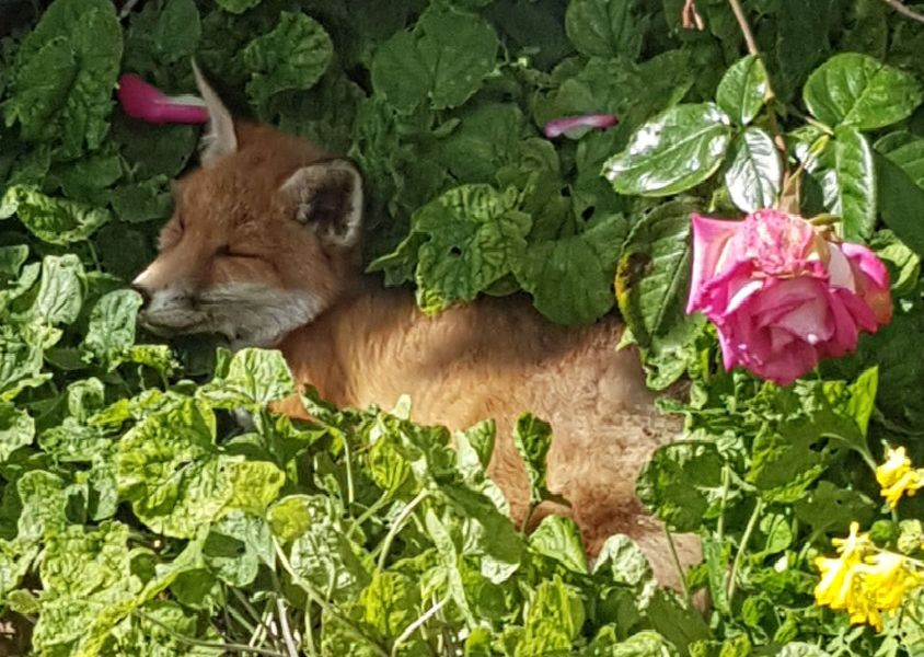 This 14 week old fox cub curled up and sleeping in a neighbour's garden was taken by Derek A Briggs, using a Samsung S7 phone. SUS-190613-095326001