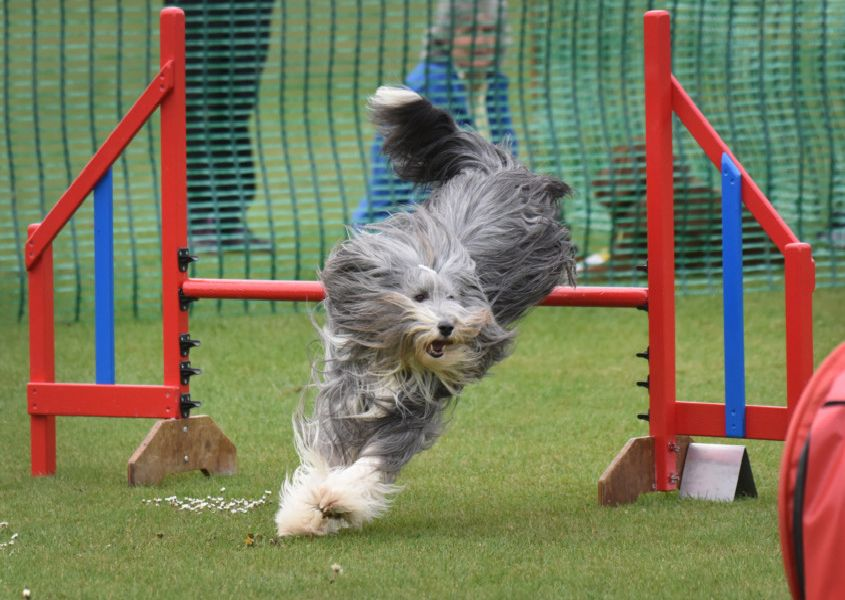 Bexhill Horse and Dog Show 2019.'Jumping Jacks Agility. SUS-190527-125057001