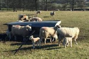 The CLA has asked dog owners to keep their pets away from sheep during the lambing period EMN-190323-162847001