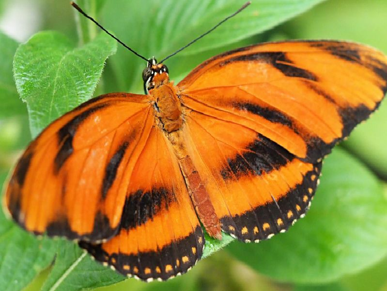 Plain Tiger Butterfly.