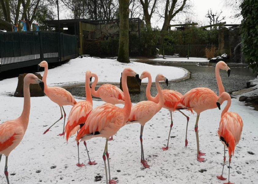 Flamingos Enjoying a light flurry of snow at Drusillas Park