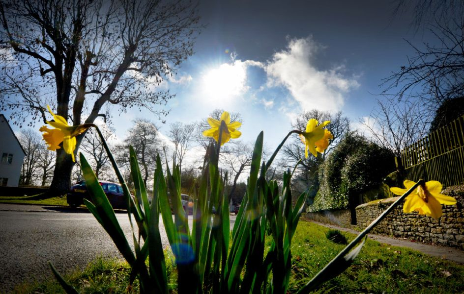 Daffodils pictured in Winchelsea. Picture by Justin Lycett SUS-190220-125051001