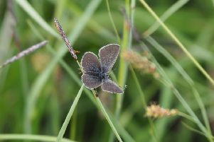 The Small Blue Butterfly discovered in Co Fermanagh