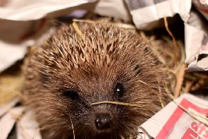Oxfordshire one of the best places to see a hedgehog