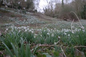 Hanwell Castle is famous for its ancient snowdrop colonies. Picture by Mike King
