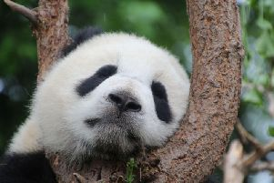 Youngsters are concerned about the potential extinction of the panda