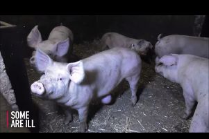 Pigs were treated cruelly at Eaton Bray farm