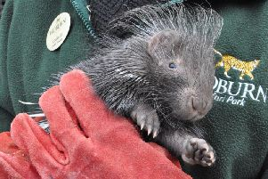 A porcupette born at Woburn
