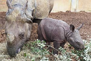 Mum Behan and calf Zhiwa line up to be counted at the Whipsnade stocktake. Photo by ZSL Whipsnade Zoo