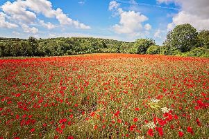The brilliant poppy field in Houghton