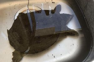 The Chinese soft shell turtle in the sink at Rolls Royce