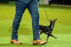 English toy terrier Spike, aged two, with owner Richard Forsythe. Photograph: The Kennel Club/ BeatMedia