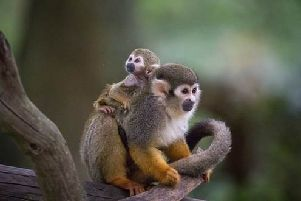 Your chance to name cute new Squirrel monkey. Picture Credit: Woburn Safari Park /Bridget Davey