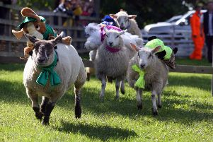 Swanbourne Sheep Race.Maisey Moo leads the way to win the second race.