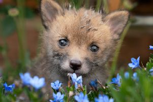 Ginger the fox cub