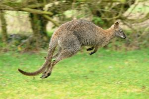 Jump to it ... a wallaby photographed by Paul Franks