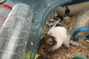 Cecilia, the Horsham hamster, was left abandoned in a car park