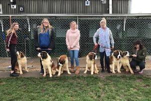 Clymping Dog Sanctuary are looking for experienced St Bernard owners to rehome a litter of puppies
