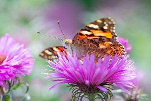 Painted lady (Picture: Jaco Costerus)