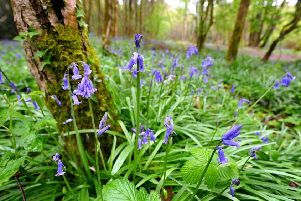 Bluebells at Leechpool Woods, Horsham. Pic Steve Robards SUS-150428-115702001