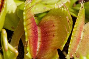 Venus fly traps are the most famous carnivorous plant
