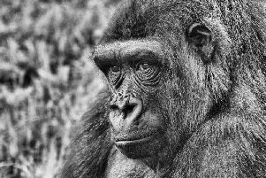 Category C Best black and white picture. 2nd prize - Western lowland gorilla by Fiona Beattie