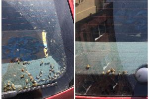 Police image of bees loose in car.