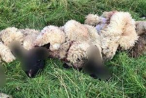 The remains of sheep killed and butchered in Whilton this summer. Photo: Northamptonshire Police