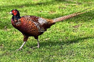 Wanted: one lady friend for a handsome pheasant - Diary of a Sussex Newbie