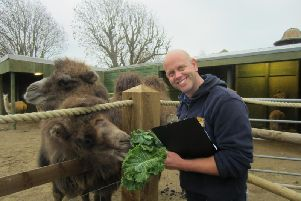 Animal manager Mark Kenward counting the camels at Drusillas Park, near Alfriston