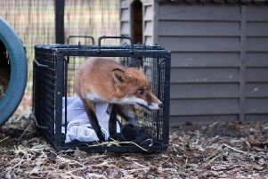 Fox with amputated rear leg being released into an outside pen SUS-190901-092625001