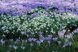 """Spring is on its way... """"St Mary's Church, Upper Willingdon, has a magnificent display of snowdrops and purple crocus,"""" said Derek A Briggs, who took this photograph with an Olympus mirrorless camera. SUS-190222-105901001"""