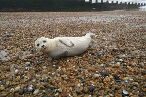The injured seal pup. Photo: Eastbourne Borough Council/Twitter