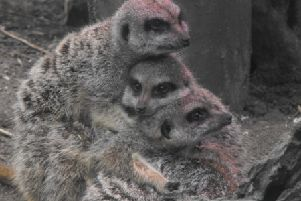 Meerkats at druisillas park huddle for safety