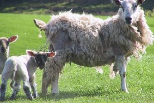 Producers encouraged to attend sheep scab meeting