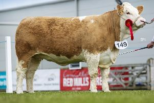 Senior heifer class winner was Ballinalare Farm Ivory bred by Joe Wilson, Rathfriland. Picture: MacGregor Photography