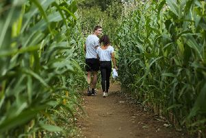 The bumper crop at the Wistow Maze