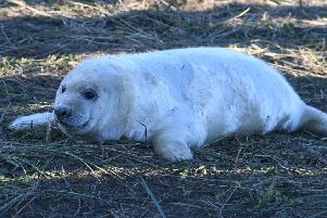 One of the seal pups pictured at Donna Nook last year.