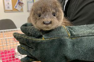 The otter pup is now in the care of the Scottish SPCA