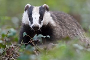 Badgers could come under threat of a cull in Oxfordshire and Warwickshire