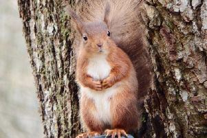 The group is hoping to boost red squirrel numbers in the area.