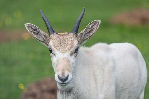 Raine, the baby Addax