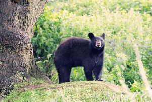 Indiana the North American black bear