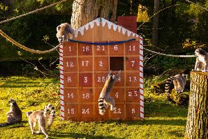 Ring tailed lemurs enjoy advent calendar at ZSL Whipsnade Zoo.