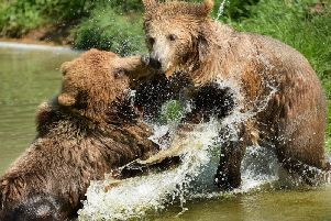 Brown Bear Water Fight. Photo by Tony Margiocchi