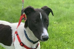 Super sweet  Rockie needs his forever family.'A lurcher cross, he's just 8 months old and is a lovely, quiet, affectionate boy who has so much love to give.'With proper introduction he could live with cats. 'If you think you could give Rockie a home, email almosthomeni@gmail.com