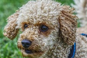 In search of a of a poodle/poodle cross